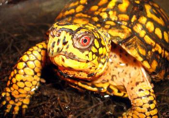 Eastern box turtle - Picture by Matt Reinbold