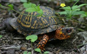 Common / Eastern Box Turtle
