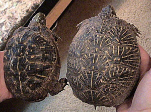The two subspecies of Western box turtle side by side. Ornate Box Turtle (left) and the Desert Box Turtle (right).  Picture by LA Dawson
