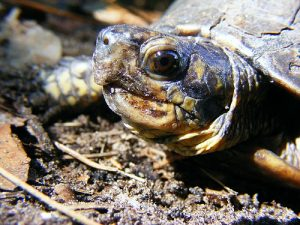 close up of florida box turtle head