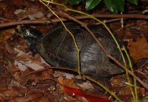 Gulf box turtle