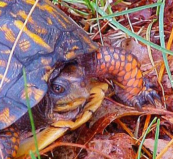 Common eastern box turtle