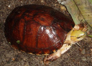 McCords box turtle