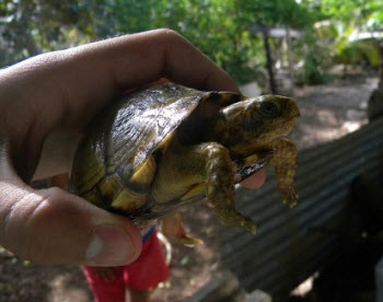 Yucatan Box Turtle pet