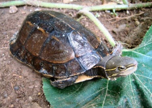 Male Yunnan box turtle - Picture by Ting Zhou / Torsten Blanck