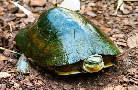 Zhous box turtle