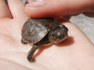 Baby Coachuilan box turtle - Picture provided by Cuatrociénagas, Desert Fishes Council.