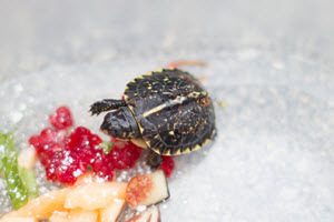 Baby Florida Box Rurtle