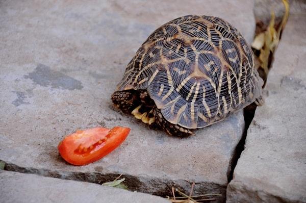 Box Turtle Refusing to Eat