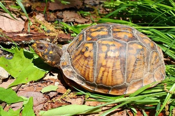 Eastern Box Turtle In Wild