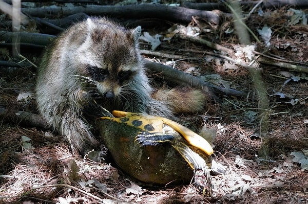 Raccoon Predator Dragging Turtle